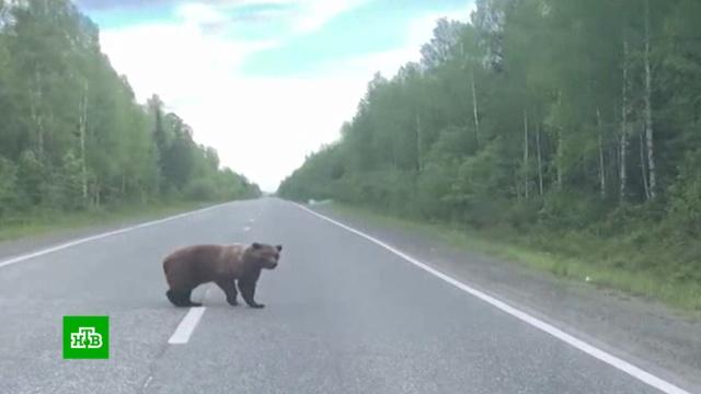 Медведицу с медвежатами встретили водители на трассе в Свердловской области.Свердловская область, медведи.НТВ.Ru: новости, видео, программы телеканала НТВ