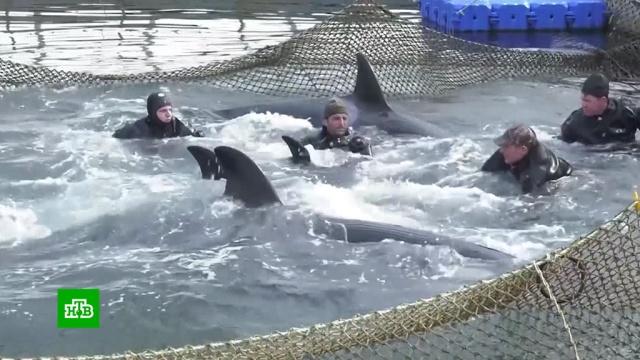 Первую группу арестантов «китовой тюрьмы» проводили вОхотское море.Дальний Восток, Путин, киты, прямая линия.НТВ.Ru: новости, видео, программы телеканала НТВ