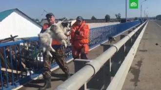 Спасение животных из зоны бедствия в Иркутской области