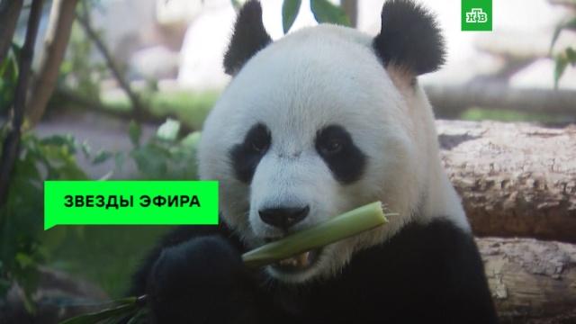 Панды из Московского зоопарка стали звездами реалити-шоу.НТВ.Ru: новости, видео, программы телеканала НТВ