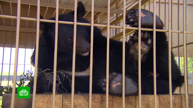 Первый в России приют для медведей появится в Приморье.Приморье, животные, медведи.НТВ.Ru: новости, видео, программы телеканала НТВ