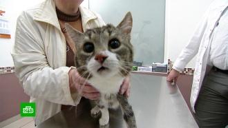 Российские ученые спасли лапу коту Лапуне спомощью инновационного импланта