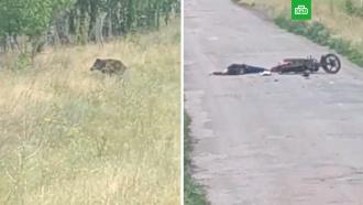 Кабан убил мотоциклиста