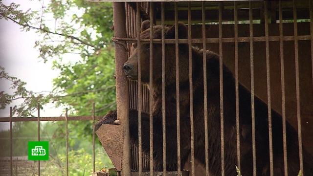 Брошенный вклетке утрассы медведь мучается от голода ижажды.Пермский край, животные, медведи.НТВ.Ru: новости, видео, программы телеканала НТВ