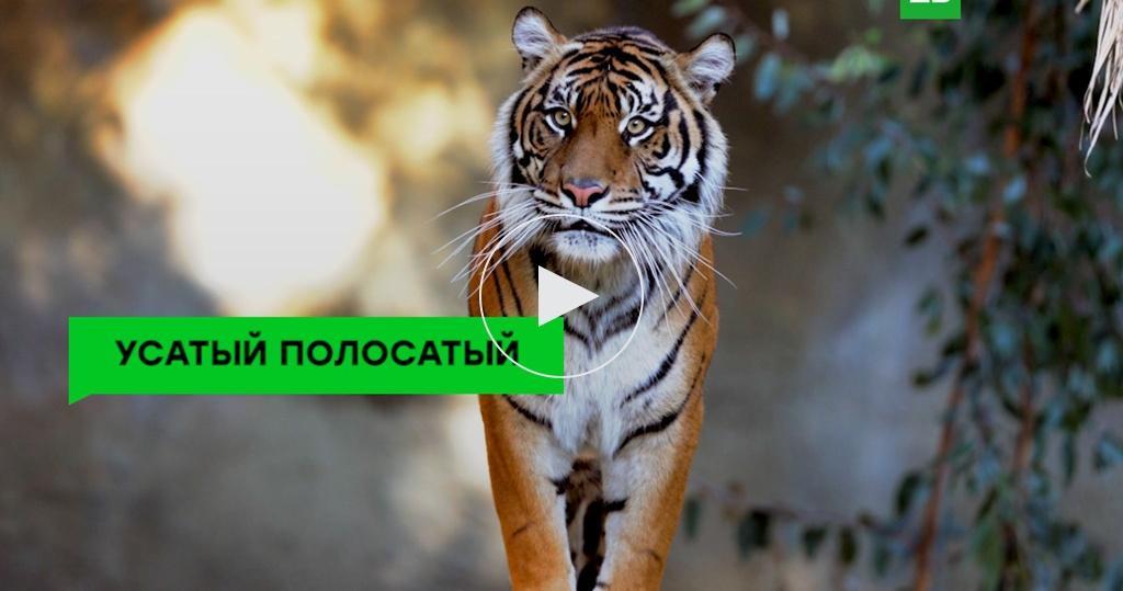 Последние тигры: хищники, которые могут полностью исчезнуть