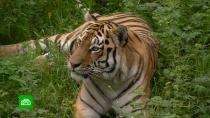 ВПриморье вДень тигра полосатых хищников угощают отборной свининой
