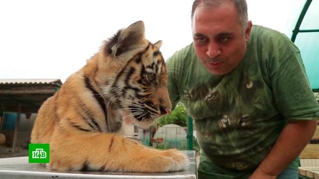 Живой символ достатка: тигры превратились ввостребованный товар на черном рынке.животные, тигры, цирк.НТВ.Ru: новости, видео, программы телеканала НТВ