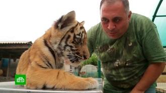 Живой символ достатка: тигры превратились ввостребованный товар на черном рынке