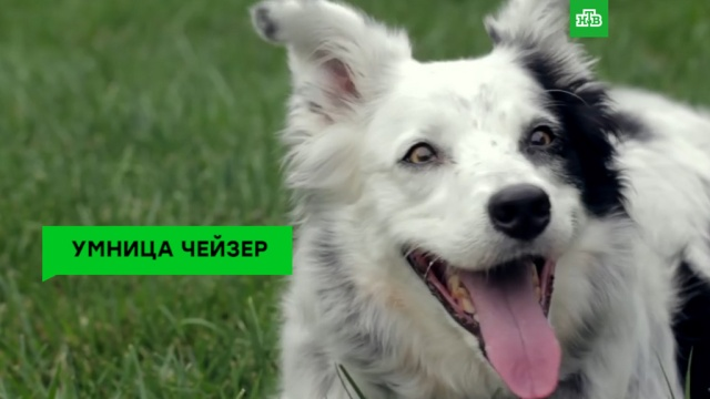 Умерла самая умная собака вмире.животные, ЗаМинуту, собаки, США.НТВ.Ru: новости, видео, программы телеканала НТВ