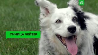 Умерла самая умная собака вмире
