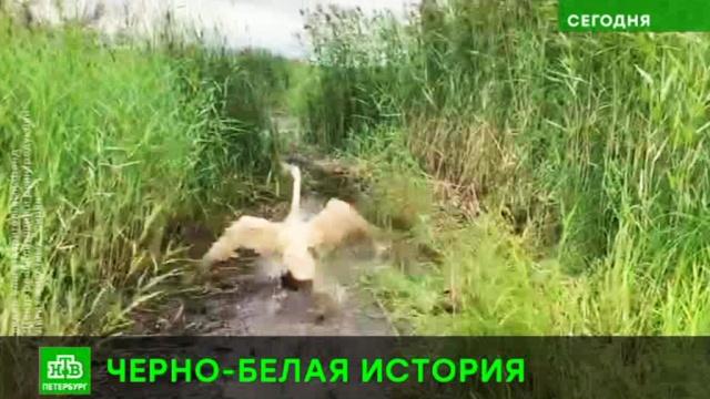 «Мазутного» лебедя из Петербурга выпустили на волю.Санкт-Петербург, животные, птицы.НТВ.Ru: новости, видео, программы телеканала НТВ