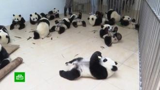 Как в Китае спасают панд от вымирания