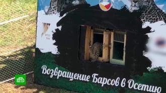 Поиски Эльбруса: ученые пытаются отследить путь пропавшего на Кавказе леопарда