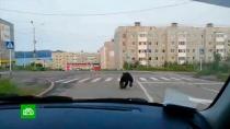 Полицейские загнали изастрелили медведя вцентре Магадана