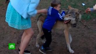 Хозяин напавшего на ребенка волка «оглох» вчелябинском суде