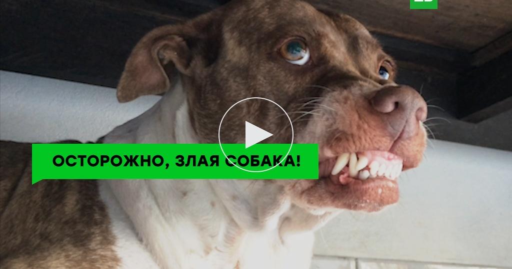 <nobr>Собака-агрессор</nobr>: как защититься при нападении