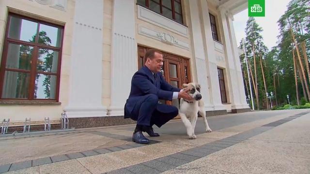 Медведев показал видео сщенком алабая всвоей резиденции.Медведев, Московская область, собаки, Туркмения.НТВ.Ru: новости, видео, программы телеканала НТВ