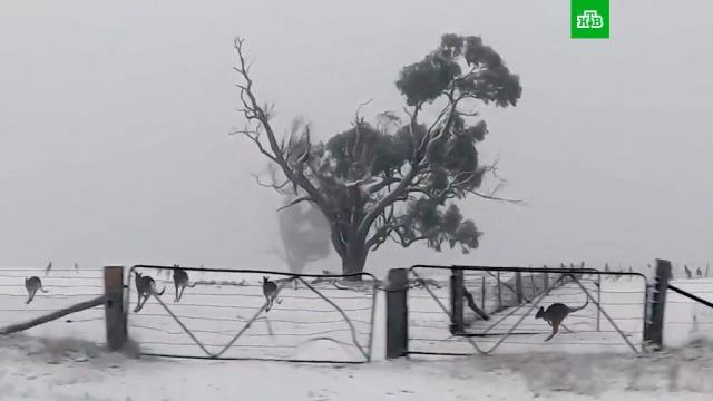Выпавший вАвстралии снег шокировал кенгуру.Австралия, животные, погодные аномалии, снег.НТВ.Ru: новости, видео, программы телеканала НТВ