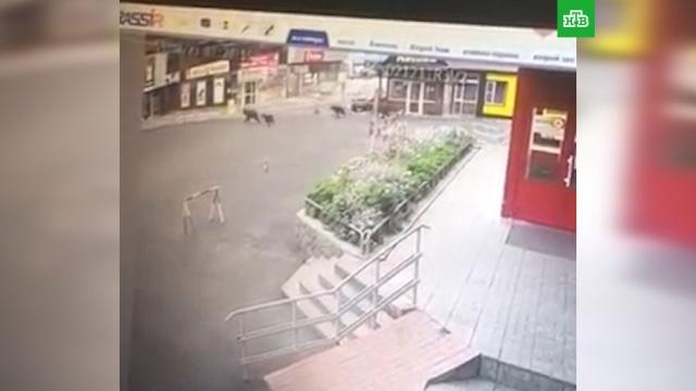 Полиция прогнала из камчатского города семейство медведей.Камчатка, животные, медведи.НТВ.Ru: новости, видео, программы телеканала НТВ