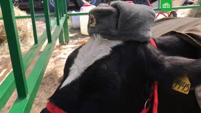 На брянской ярмарке коров нарядили в советскую военную форму: видео.Брянск, животные, коровы, патриотизм, ярмарки и рынки.НТВ.Ru: новости, видео, программы телеканала НТВ