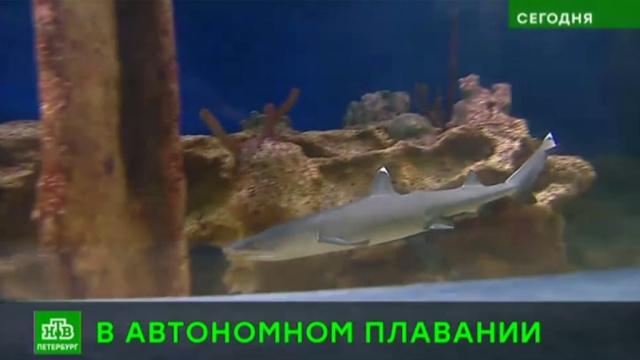 В петербургском океанариуме у белоплавниковых акул родился первенец.Санкт-Петербург, акулы, животные.НТВ.Ru: новости, видео, программы телеканала НТВ