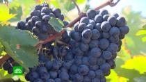 Виноград взаконе: российские виноделы ждут помощи от государства