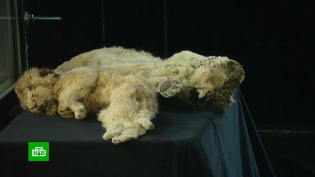 В «Зарядье» привезли мамонтенка Юку и пещерных львят.Москва, археология, выставки и музеи.НТВ.Ru: новости, видео, программы телеканала НТВ