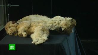В «Зарядье» привезли мамонтенка Юку и пещерных львят