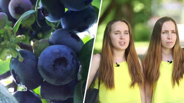 Улучшаетли черника зрение: эксперимент на близняшках.здоровье, наука и открытия, продукты.НТВ.Ru: новости, видео, программы телеканала НТВ
