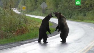 Два медведя гризли подрались на дороге