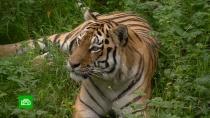 Полосатый сосед: Приморье готовится кпразднованию Дня тигра