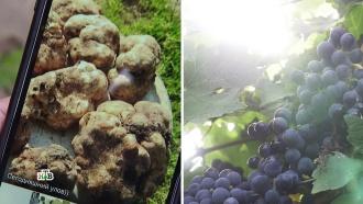 Виноград и трюфели: российские дачники довольны изменениями климата
