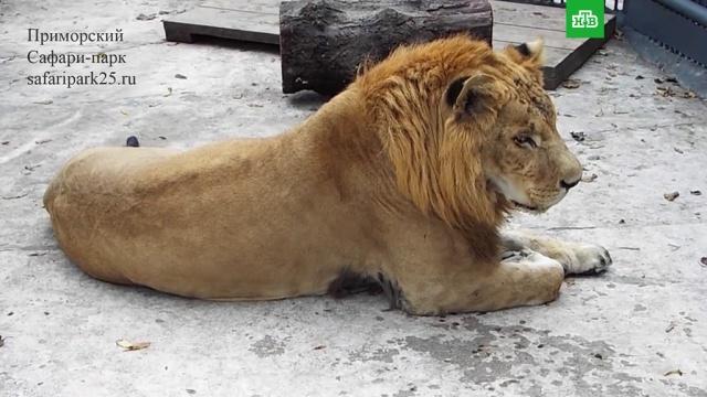 ВПриморском сафари-парке поселился лигр.Дальний Восток, животные, зоопарки, львы, тигры.НТВ.Ru: новости, видео, программы телеканала НТВ