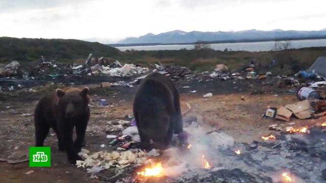 Ученые не поддержали идею отстрелить 500 заповедных камчатских медведей.Камчатка, животные, медведи.НТВ.Ru: новости, видео, программы телеканала НТВ