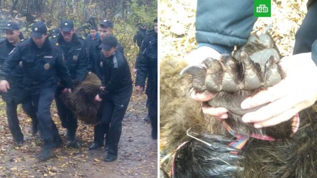 Бегавшего по улицам медведя поймали в Чебоксарах.Чувашия, животные, медведи, полиция.НТВ.Ru: новости, видео, программы телеканала НТВ