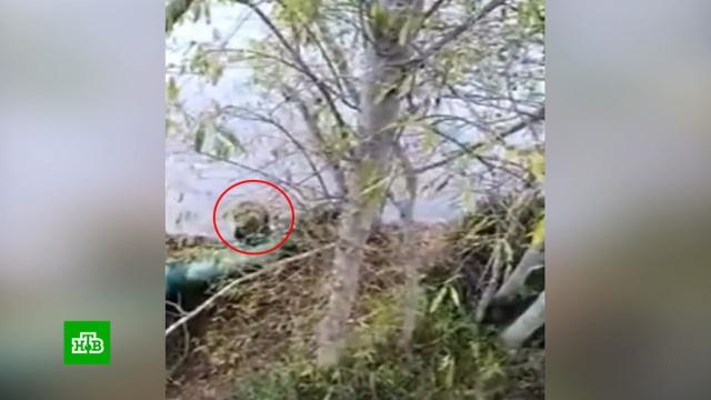 Два рыбака спаслись на дереве от голодного медведя.Хабаровский край, медведи, животные.НТВ.Ru: новости, видео, программы телеканала НТВ