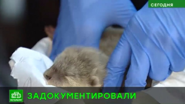 В петербургском океанариуме выдали паспорта выдрятам.Санкт-Петербург, животные.НТВ.Ru: новости, видео, программы телеканала НТВ