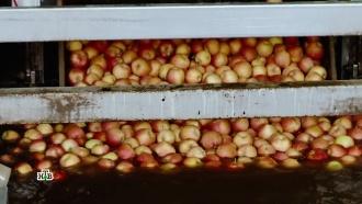Небывалый урожай яблок превратился в третью российскую беду
