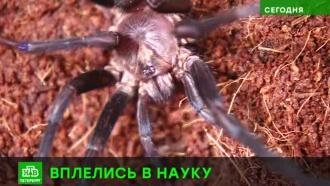 Пауки помогают петербургским ученым ткать кровеносные сосуды ишелк