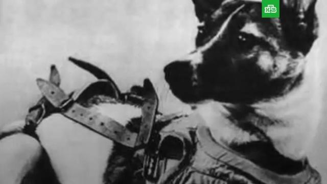 Полет игибель первой собаки-космонавта.ЗаМинуту, животные, космос, собаки.НТВ.Ru: новости, видео, программы телеканала НТВ