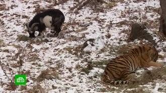 В Приморье умер друживший с тигром козел Тимур
