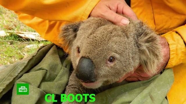 Половина популяции коал погибла в австралийском заповеднике из-за пожара.Австралия, животные, заповедники, лесные пожары.НТВ.Ru: новости, видео, программы телеканала НТВ