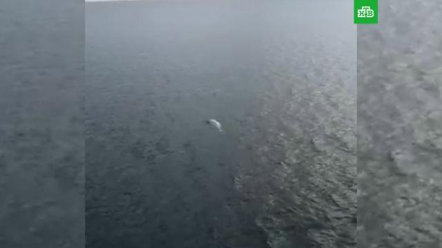 Из «китовой тюрьмы» освободили всех белух.Дальний Восток, Приморье, киты, море.НТВ.Ru: новости, видео, программы телеканала НТВ