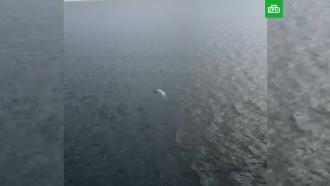 Из «китовой тюрьмы» освободили всех белух