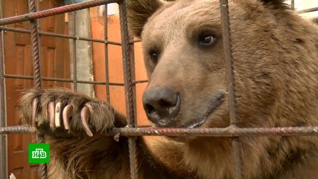 Бездомный медведь Афанасий нашел жилье благодаря Интернету.Краснодар, медведи.НТВ.Ru: новости, видео, программы телеканала НТВ