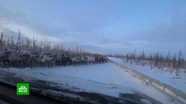 Стадо оленей перекрыло трассу на Ямале.Ямало-Ненецкий АО, дороги, животные, олени.НТВ.Ru: новости, видео, программы телеканала НТВ