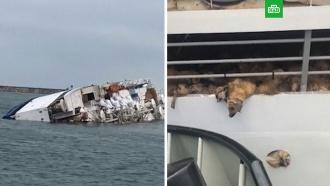 Гибель 14 тысяч овец в Чёрном море попала на видео