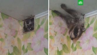 Толстый енот кочует между квартирами по вентиляции