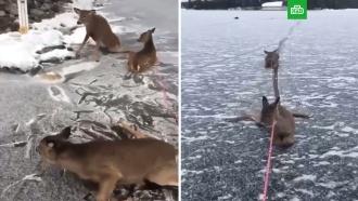 Канадец спас на замерзшем озере трех оленей