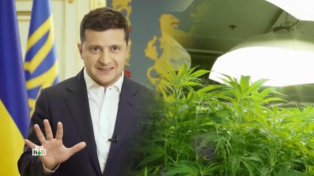 Как Зеленский решил сажать коноплю вместо коррупционеров.НТВ.Ru: новости, видео, программы телеканала НТВ